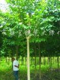 供应定杆绿化苗木树杆直形状佳乐昌含笑