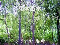 出售垂柳、榉树、重阳木、朴树、合欢栾树