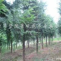供应2-18公分红豆杉