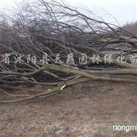 供应10-60公分榉树