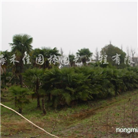供应高200-500cm棕榈
