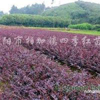 供应红花继木
