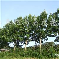 供应马褂木