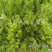 供应朝鲜黄杨、大叶黄杨、小叶黄杨等绿化苗木