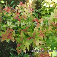 供应珍珠绣线菊、日本绣线菊、金山绣线菊、金焰绣线菊