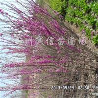 供应紫荆、紫薇、丁香、榆叶梅、珍珠梅、黄刺梅