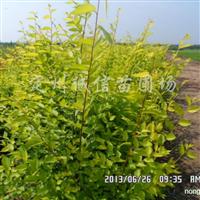 供应金叶榆、丛生金叶榆、独杆金叶榆、盆装金叶榆