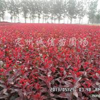 供应2-4分枝丛生紫叶矮樱