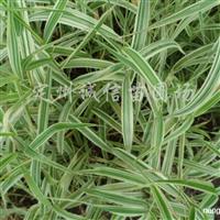 供应玉带草