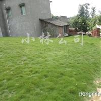 供应台湾二号绿化草坪工程草坪