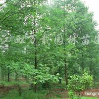 供应马褂木胸径20公分