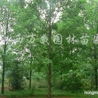 供应马褂木18公分