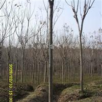 供应栾树、广玉兰、香樟、无患子等苗木