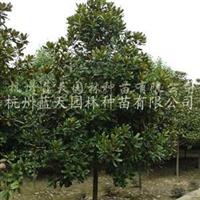 供应胸径7-15公分广玉兰