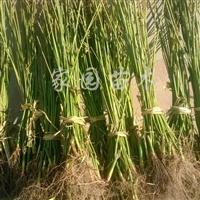 供应金叶复叶槭扦插小苗