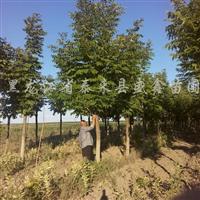 供应银中杨母根及水曲柳、糖槭、柳树、樟子松