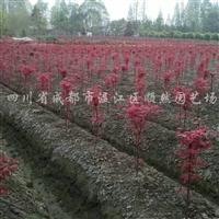 供应新刀红枫