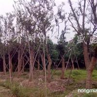 供应18-40公分朴树