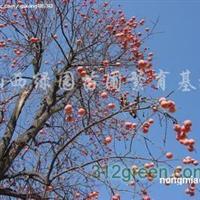 供应柿子树