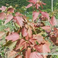 供应红叶复叶槭、黄金枫、五角枫、紫叶稠李