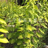 供应金叶复叶槭、金叶丝绵木、紫叶稠李、五角枫