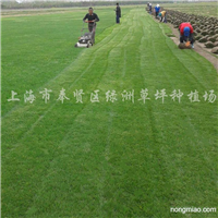 供应黑麦草草坪、冬季果岭草草坪