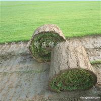 供应天然草坪黑麦草混播、狗牙根草坪