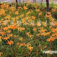 供应草花、大花萱草、八仙花、红花�m浆草、美人蕉等