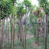 供应芒果树