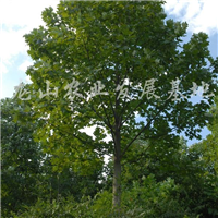 供应优质树型大规格鹅掌楸