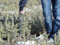 供应樟子松、云杉容器苗
