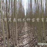 供应白桦、水曲柳、蒙古栎、五角枫、榆树