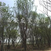 供应20-45公分茶条槭