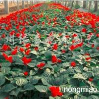 供应一串红、孔雀草、万寿菊、矮牵牛、鸡冠花等