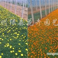 供应万寿菊、孔雀草、一串红等草花