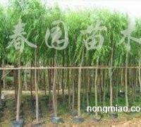 供应垂柳、国槐、金叶榆、五角枫、榆树、速生杨
