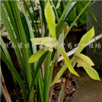 供���m花及其他稀有植物