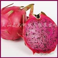 供应火龙果苗、台湾红肉火龙果苗、白肉火龙果苗