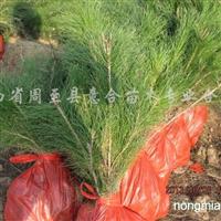 供应油松苗、三年生营养袋油松小苗、容器油松