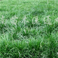 供应吉祥草、麦冬草、玉龙草、红花葱兰