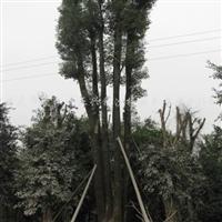 供应黄葛树、小叶榕、油麻藤、黄花槐、重阳木