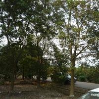 供应8-28公分重阳木