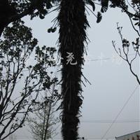 供应棕榈4-7米高