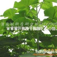 供应泡桐种根、杨树种条