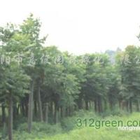 供应28公分移栽骨架栾树、30公分大型骨架栾树