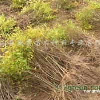 供应突尼斯软籽石榴苗