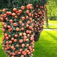 供应迎春朱砂橘、四季橘、橄榄橘