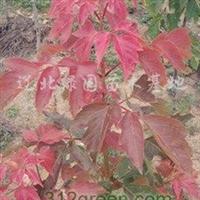 供应红叶复叶槭、多情复叶槭、粉叶复叶槭
