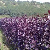 供应皇家雨点海棠、王族海棠、光辉海棠、紫叶稠李、金叶复叶槭