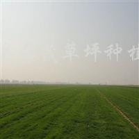 供应结缕草、果岭草、高羊茅、早熟禾等草坪